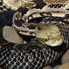 Cane brake rattlesnake, Crotalus horridus atricaudatus