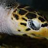 Hawksbill Sea Turtle,  Eretmochelys imbricata