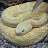 Amelanistic diamondback rattlesnake,   Crotalus atrox