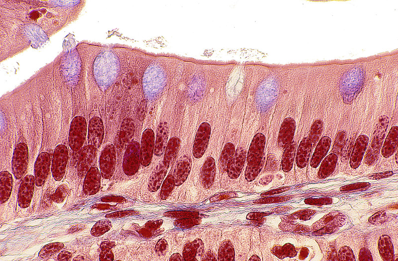 Frog Intestine, Columnar Epithelium, 100X