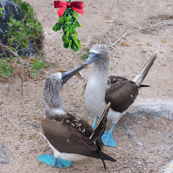 Blue-footed Boobies under the mistletoe.   Christmas card 2012