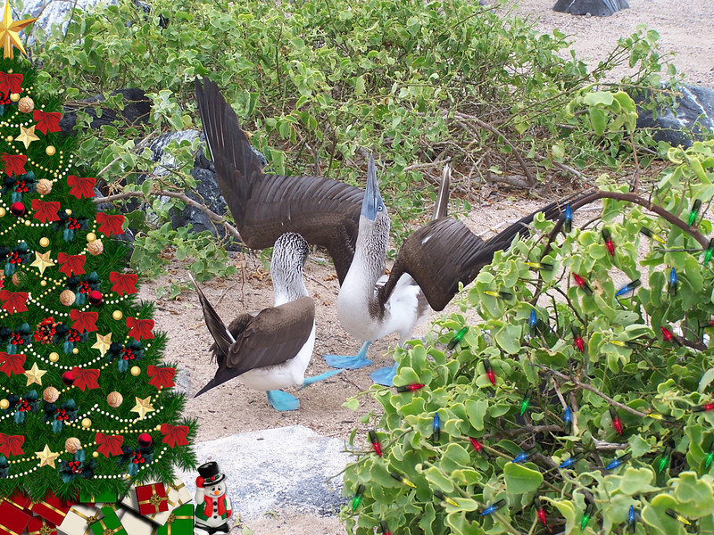 The sight of flying reindeer interrupts the dance at the Booby Colony!   Christmas card 2012
