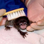 In this August 2009 handout photograph provided by The Denver Zoo, one of the emperor tamarin monkey twins is groomed with a toothbrush by a handler. The tamarin twins named Lara and Lucy were orphaned on July 30 when their mother died of cancer, three weeks after giving birth. As a result, zookeepers are feeding the monkeys by hand. (AP Photo/HO, The Denver Zoo, Dave Parsons)