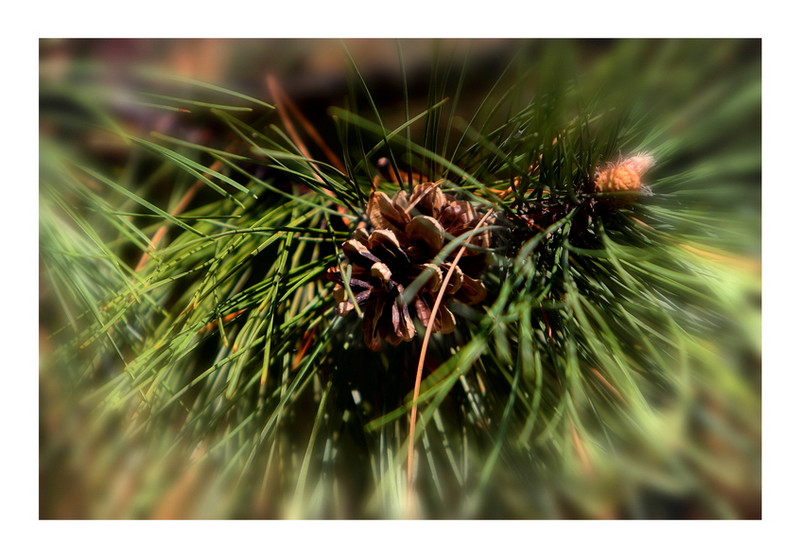 A pine cone on a tree