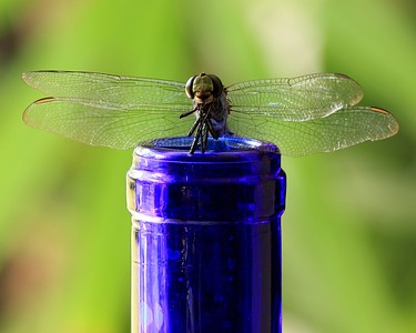 Dead Dragonfly on Blue Bottle