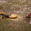 Fox Squirrel - Whistling Duck Stand-Off