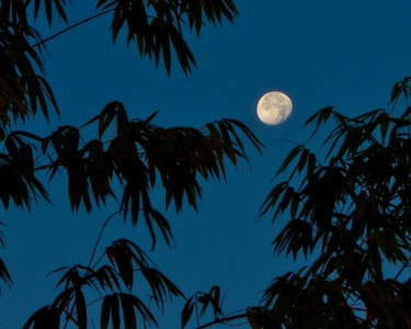 Dawn Bamboo Moon