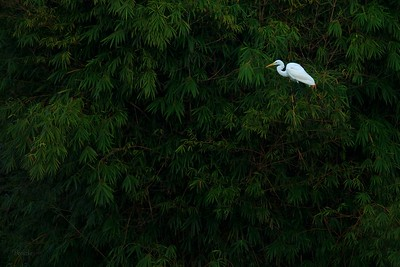 Great Egret in Bamboo
