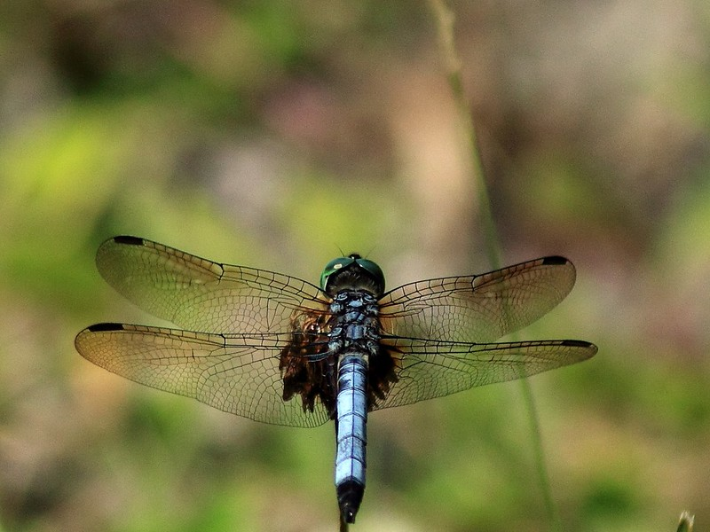 Dragonfly on Rush