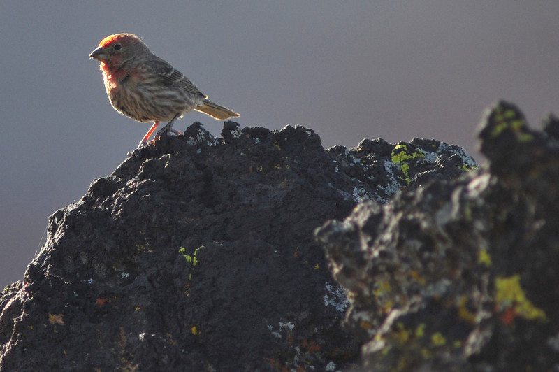 Perhaps a Purple Finch, Snow Canyon State Park