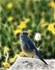 Fractal Bluebird