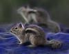 Fractalius Squirrels