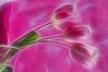 Fractalius Tulips