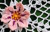 Picotee Flower