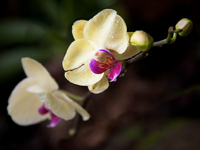 "Orchid 1, L.A. Arboretum. Fine art print available, matted and framed, 16""x20"""