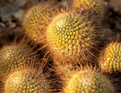 Pincushion Cactus, Arizona-Sonora Desert Museum, Tucson, AZfrom Arizona Highways workshop with Colleen Miniuk-Sperry
