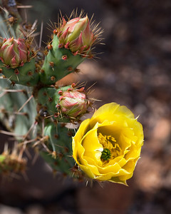 "Opuntia engelmannii (Prickly pear cactus), Tucson, AZ. Canvas print available, mounted on panel with black frame, 16""x24"""