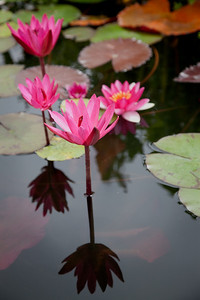 "Water Lily #5, San Juan Capistrano, CA. Canvas print available, mounted on panel with black frame, 16""x24"""