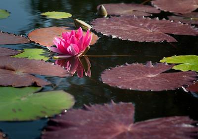 Water Lily #1, San Juan Capistrano, CA