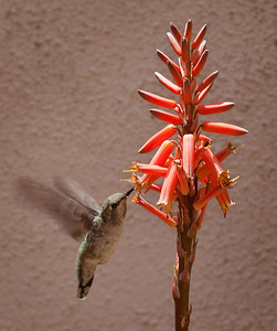 Hummingbird and Aloe blossom,  Fountain Valley, CA