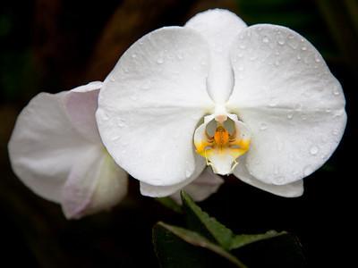 Orchid 2, L.A. Arboretum