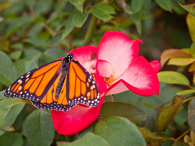 "Butterfly and rose, San Juan Capistrano, CA. Fine art print available, matted and framed, 16""x20"""