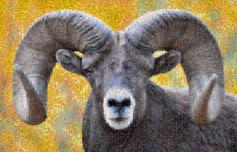bighorn cropped
