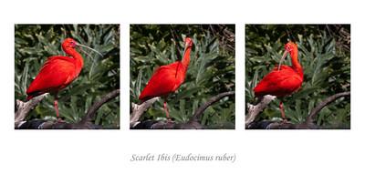 Ibis, Santa Ana Zoo, CA