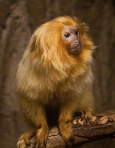 Golden Lion Tamarin (Leontopithecus rosalia), World Wildlife Zoo, Phoenix, AZfrom Arizona Highways workshop with J. Peter Mortimer