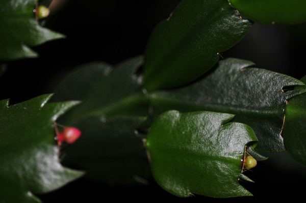 It's almost Christmas Cactus season!!!