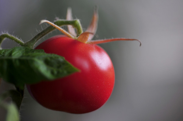 My final tomato of the season, a beefsteak, about an inch in height, survived because I brought the pot inside back in August.