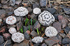 2014 Ravellenics Snowflake Rocks and First Daffodils of the Year