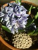 Mini Change of Heart Snowflake Rock with Indoor Hyacinth