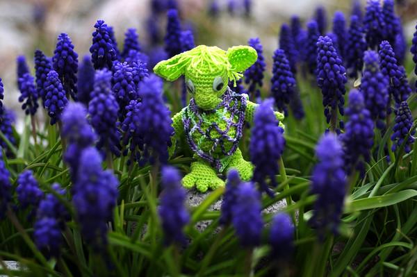 a walk through the grape hyacinths