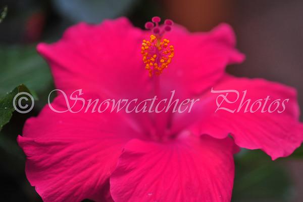 altered hibiscus