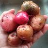 Potatoes from my Garden