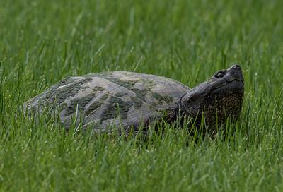 20160513 Wandering Turtle