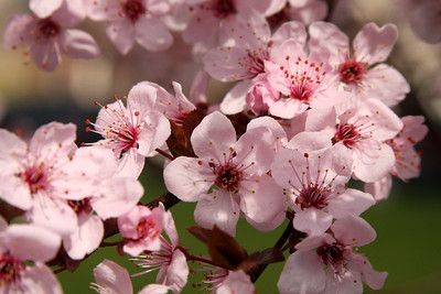 Cherryblossoms - Phoenixville, PA ... April 12, 2009 ... Photo by Rob Page III