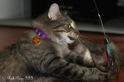 Roxi playing with her toy - Ottawa, ON ... September 27, 2009 .. Photo by Rob Page III