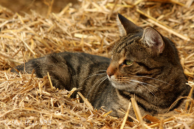 A cat at Saunders Farm - Ottawa, ON ... September 26, 2009 .. Photo by Rob Page III