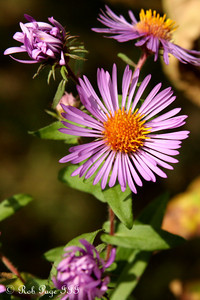 Flowers at Saunders Farm - Ottawa, ON ... September 26, 2009 ... Photo by Rob Page III