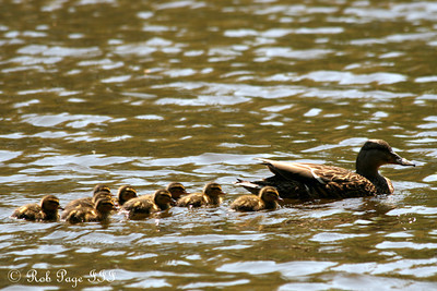 Mama duck with her brood - Chagrin Falls, OH ... April 30, 2010 ... Photo by Rob Page III