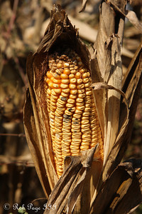 The corn at the Corn Maze in the Plains - The Plains, VA ... October 10, 2010 ... Photo by Rob Page III