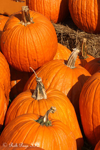 Pumpkins at the Corn Maze in the Plains - The Plains, VA ... October 10, 2010 ... Photo by Rob Page III
