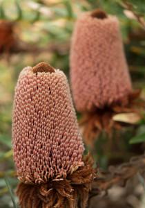 Red hats (Seto)