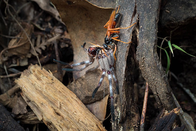 A hornet attacked a big huntsman & tried to drag it away!