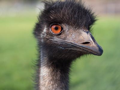 Hairy emu