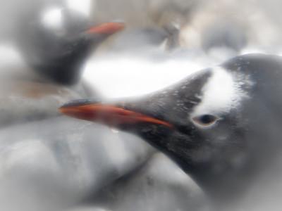 Gentoo Penguins. Sep, 2010.