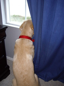 Cycra discovered windows this month...now she is always looking out the window and barking at passerbys, neighbors, leaves, the wind.....