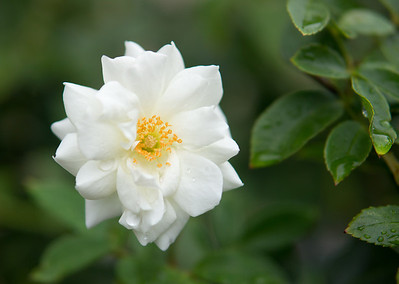 White camelia in the rain. Feb 2012.